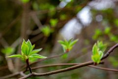 Sakura leaf budding royalty free stock photography