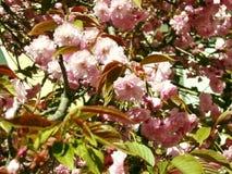 Sakura les fleurs de cerisier dans le printemps, beau rose fleurissent Uzhhorod de la Transcarpathie Image stock