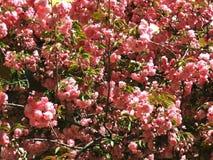 Sakura les fleurs de cerisier dans le printemps, beau rose fleurissent Uzhhorod de la Transcarpathie Photos libres de droits