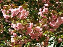 Sakura les fleurs de cerisier dans le printemps, beau rose fleurissent Uzhhorod de la Transcarpathie Photographie stock libre de droits