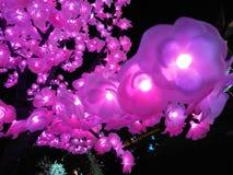 Sakura ligero Fotos de archivo libres de regalías