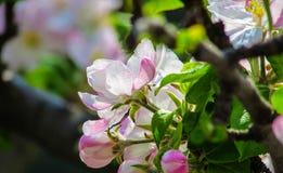 Sakura. Lovely and beautiful sakura's flower stock images