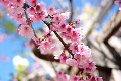Sakura lub czereśniowego okwitnięcia kwiatów pełny kwitnienie Zdjęcia Royalty Free