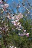 Sakura lub czereśniowego okwitnięcia kwiatu pełnego kwiatu gałąź Zdjęcie Stock