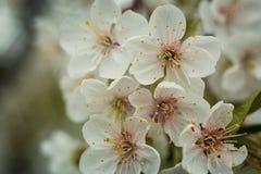 Sakura lub czereśniowego okwitnięcia kwiatu pełny kwiat w niebieskie niebo wiosny se Fotografia Stock