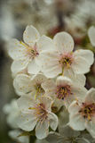 Sakura lub czereśniowego okwitnięcia kwiatu pełny kwiat w niebieskie niebo wiosny se Zdjęcie Royalty Free