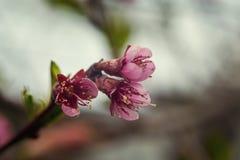 Sakura lub czereśniowego okwitnięcia kwiatu pełny kwiat w niebieskie niebo wiosny se Fotografia Royalty Free