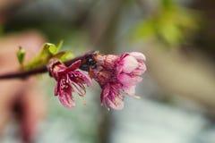 Sakura lub czereśniowego okwitnięcia kwiatu pełny kwiat w niebieskie niebo wiosny se Obraz Royalty Free