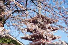 Sakura lub czereśniowy okwitnięcie na Japan Fotografia Royalty Free