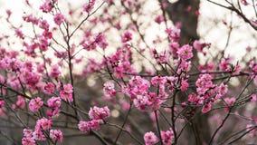 Sakura in Maruyama Park, Sapporo Stock Photography