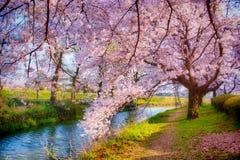 Sakura med drömlik effekt royaltyfria bilder