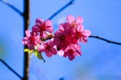 Sakura med en härlig blå himmel Royaltyfria Bilder