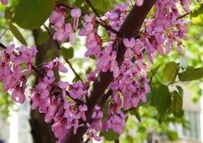 Sakura med mjuka rosa blommor, bakgrund Royaltyfria Foton