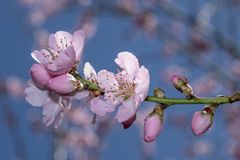 Sakura menchia kwitnie okwitnięcia fotografia stock