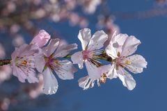 Sakura menchia kwitnie okwitnięcia zdjęcia stock