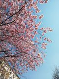 Sakura na cidade entre as casas foto de stock