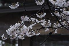 Sakura na de regen Royalty-vrije Stock Fotografie