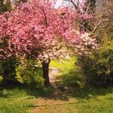 Sakura na flor Fotografia de Stock