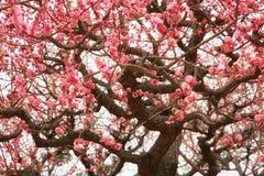 Sakura na flor Fotos de Stock
