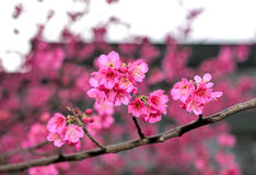 Sakura na mola Imagens de Stock Royalty Free
