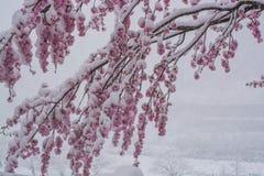 Sakura na tempestade da neve fotos de stock