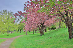 Sakura  the Nakajima Park at  Sapporo Stock Photography