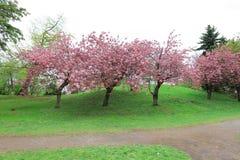 Sakura  the Nakajima Park at  Sapporo Stock Photos
