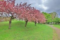 Sakura  the Nakajima Park at  Sapporo Stock Photo
