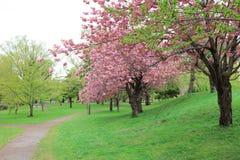 Sakura  the Nakajima Park at  Sapporo Royalty Free Stock Images