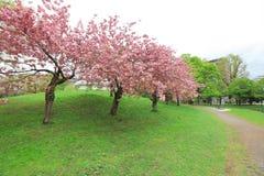 Sakura  the Nakajima Park at  Sapporo Royalty Free Stock Photo