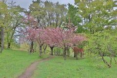 Sakura  the Nakajima Park at  Sapporo Stock Images