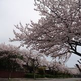 Sakura namiki Royalty Free Stock Images