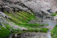 Sakura near tokyo Stock Images