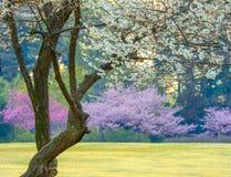 Sakura nel Giappone Immagini Stock Libere da Diritti