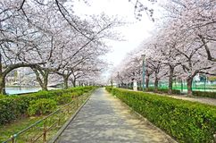 Sakura nel giardino Fotografia Stock
