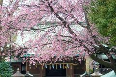 Sakura nel tample Fotografie Stock