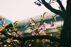 Sakura nella sera fotografia stock libera da diritti