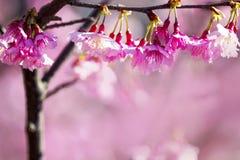 Sakura with nice background Stock Photo