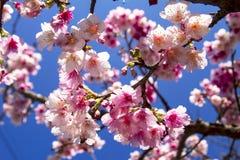 Sakura with nice background Royalty Free Stock Images