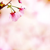 Sakura with nice background Royalty Free Stock Photos
