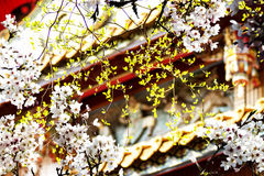 Sakura with nice background Royalty Free Stock Images