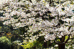 Sakura with nice background Royalty Free Stock Photo