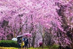 Sakura with nice background Royalty Free Stock Image