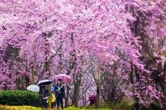 Sakura with nice background Royalty Free Stock Image