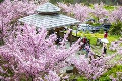 Sakura with nice background Stock Photography