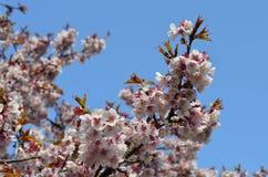 Sakura no céu Fotos de Stock