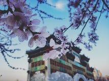 Sakura no Pequim imagem de stock