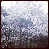 sakura no whu Imagens de Stock