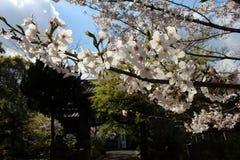 Sakura o cereza que florece alrededor del templo durante estaci?n de primavera imagen de archivo