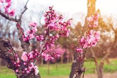 Sakura o Cherry Blossom rosa Fotografia Stock Libera da Diritti